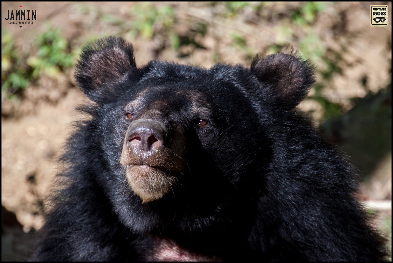 Asiatic bears in Luang Prabang