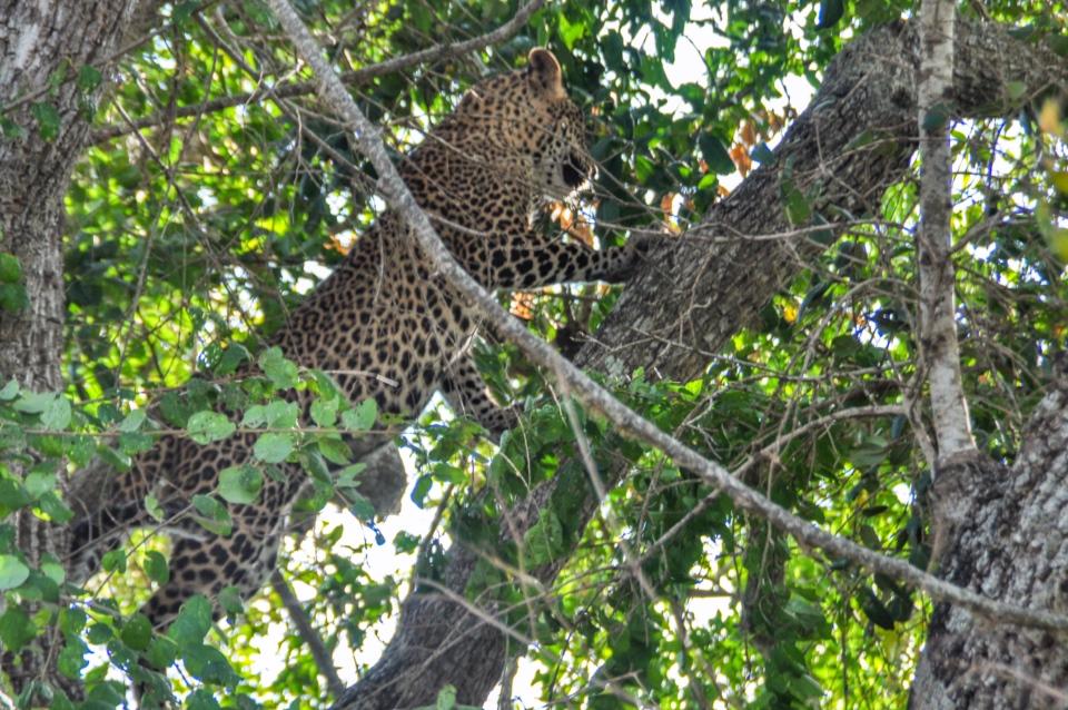 A leopard in Yala Reserve!